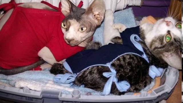 Łysy kot sfinks KOMPILACJA zabawa śmieszne hairless cat sphynx play fun