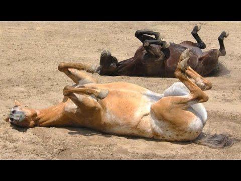 Śmieszne konie – zabawna filmy konia. Kompilacja